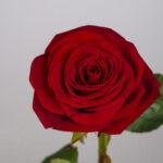 zoom-rose-rouge-atelier-lavarenne-fleuriste-lyon-livraison-fleurs